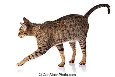 gato, bicolor, vista, marrón, lado, plano de fondo, blanco