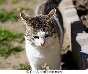 gato, blanco, grayish