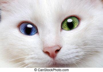 gato branco, com, diferente, colorido, olhos