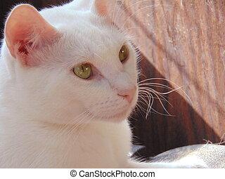 gato branco, com, dourado, olhos