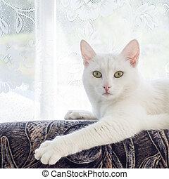 gato branco, com, olhos agradáveis