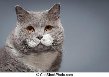 gato, británico, shorthair