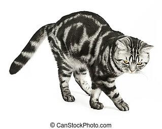gato, britânico, dançar
