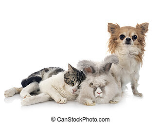 gato, chihuahua, rabit