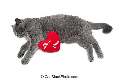 gato cinzento, mentiras, fundo, escocês, branca