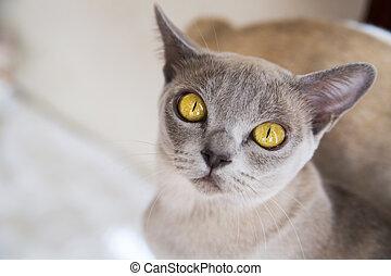 gato, com, profundo, bonito, mostarda, amarela, olhos
