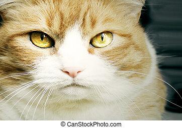 gato, dourado, olhos