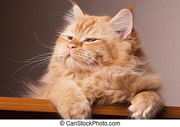 gato, feliz, ojos, expresión, animal