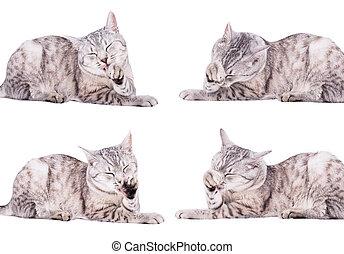 gato gris, atigrado, europeo