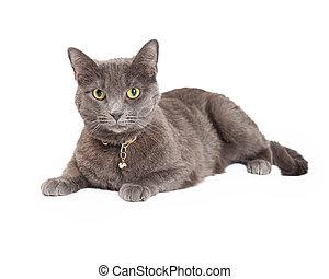 gato, gris, colocar, doméstico, hermoso, shorthair