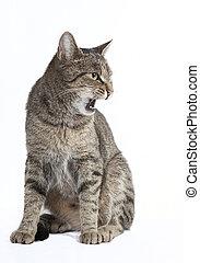 gato, hisses
