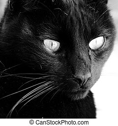 gato negro mirada - retrato de gato negro primer plano