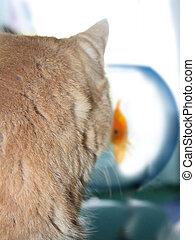 gato, observar, um, peixe ouro, em, um, fishb