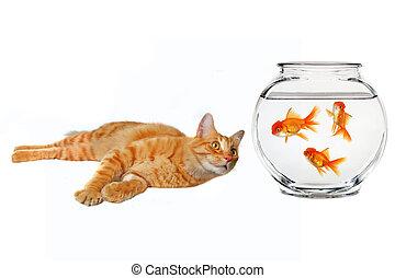 gato, olhar, um, peixe ouro