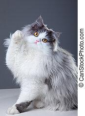 gato, persa, gris, juego