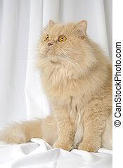 gato, persa, retrato