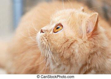 gato, persa