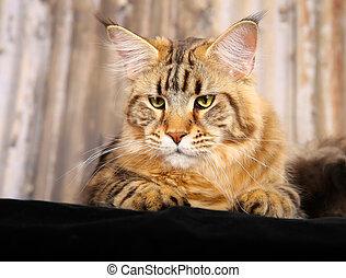 gato purebred