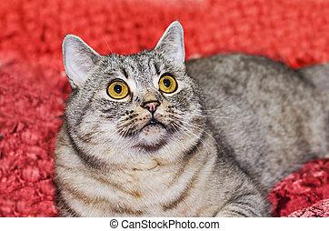 gato, raça, britânico, shorthair