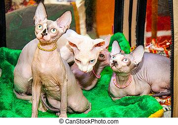 gato, raça,  sphynx, canadense