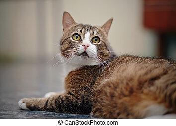 gato raiou, doméstico