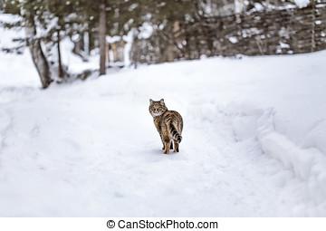 gato, saída, em, a, neve