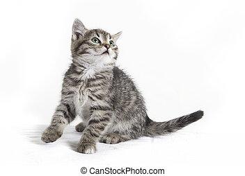 gato, se sienta, y, miradas