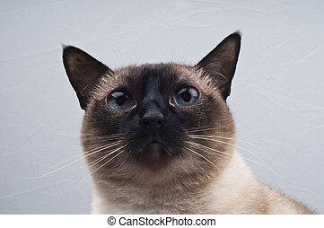 gato, siamés, mirar, cámara