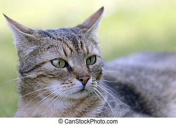 gato tabby