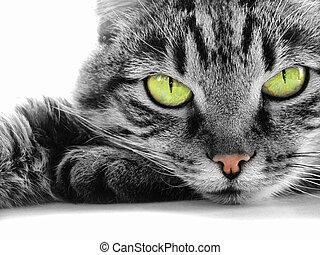 gato, verde -eyed