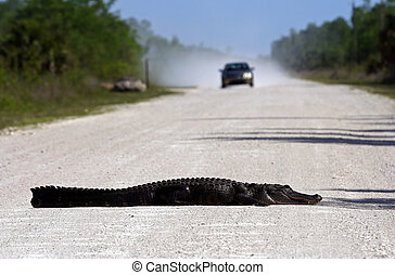 Gator Roadblock in Big Cypress National Preserve, Florida...