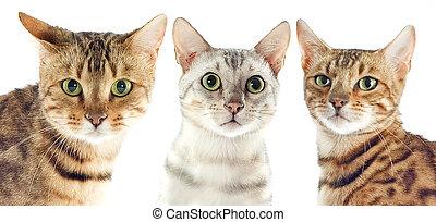 gatos, bengala