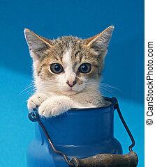 gattino, latte può