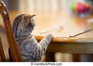 gatto, attesa, per, cibo, seduta, come, uomo, tavola
