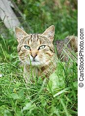 gatto, erba, giovane, riposare