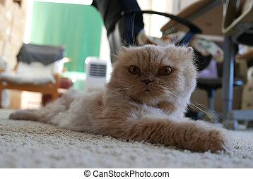 gatto, pavimento, adagiarsi, persiano, movimento