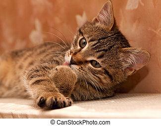 gatto, pulizia, lei, zampa