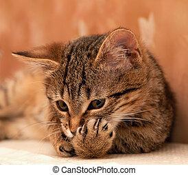 gatto, pulizia, zampa