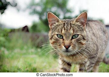 gatto, staring, eyed, verde