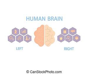 gauche, cerveau, humain, hémisphères, corps, droit, contrôle, behavior., diviser