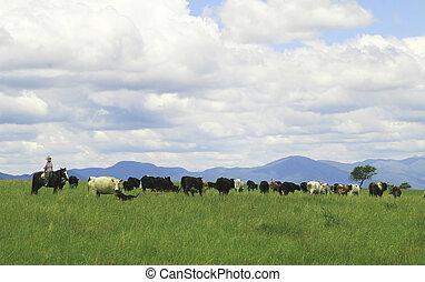 Gaucho herding cows near Salta, Argentina - Unrecognisable...