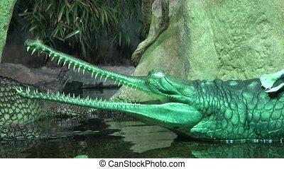 Gavial Indian (Gavialis gangeticus). Gavial crocodile group....