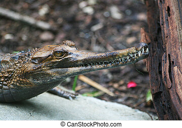 Gavialhead Alligator