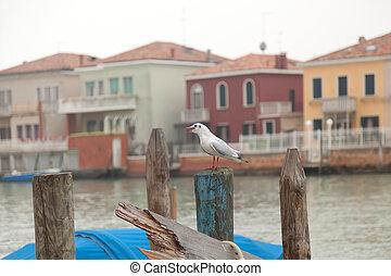 gaviota, venecia