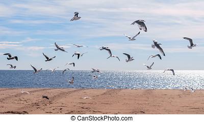 gaviotas, el volar en el aire, en, el, océano, playa