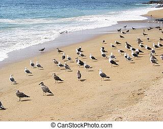 gaviotas, en la playa, de, vina, mar. de supr, chile