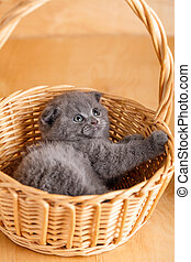 Gay color Scottish fold cat in a wicker basket