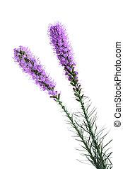 Gayfeather Flower