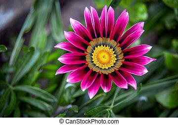 gazania, anglaise, pourpre, fleurir, jardin