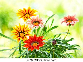 gazania, fleur